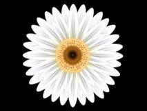 Kolorowy biały gerbera kwiat Zdjęcia Royalty Free