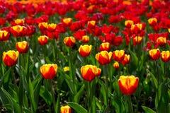 Kolorowy blossing tulipanu park publicznie Obraz Stock