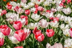 Kolorowy blossing tulipanu park publicznie Fotografia Stock
