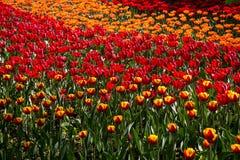 Kolorowy blossing tulipanu park publicznie Zdjęcia Royalty Free