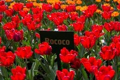 Kolorowy blossing tulipanu park publicznie Fotografia Royalty Free