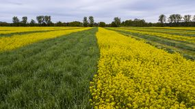 Kolorowy canola pola rolnictwo zdjęcia stock