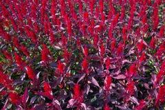 Kolorowy celozja kwiat w ogródzie Zdjęcie Royalty Free