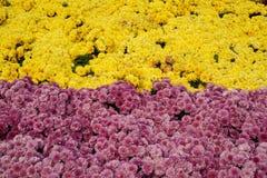 Kolorowy chryzantema zdjęcia royalty free