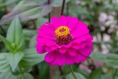 Kolorowy chryzantema kwiatu kwitnienie Zdjęcie Stock
