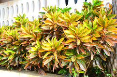 Kolorowy croton Zdjęcia Stock