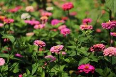 Kolorowy cynia kwiatów ogród w świetle słonecznym Obrazy Stock