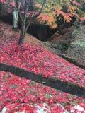 Kolorowy Czerwony klon Zdjęcia Royalty Free