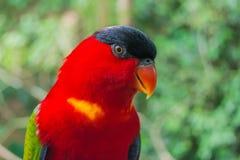 Kolorowy czerwony lory Zdjęcia Stock