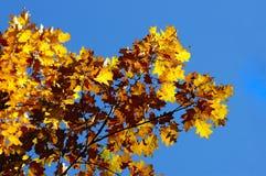 kolorowy dębowy drzewo Zdjęcie Royalty Free
