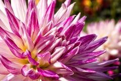 Kolorowy dalia kwiat Fotografia Royalty Free