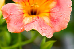 Kolorowy Daylily z kroplami woda Fotografia Royalty Free