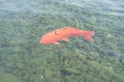 Kolorowy dekoracyjny ryba pławik w sztucznym stawie zdjęcia royalty free