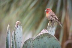 Kolorowy Domowy Finch na kaktusie w Teksas Obrazy Royalty Free