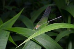 Kolorowy dragonfly w Tajlandzkim lesie Fotografia Stock