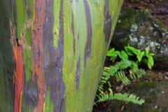 Kolorowy drzewo w El Yunque obywatela lesie tropikalnym Fotografia Stock