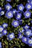 Kolorowy dywan błękitni kwiaty obraz stock