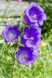 Kolorowy dzwonkowych kwiatów zamknięty up obraz royalty free