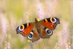 Kolorowy Europejski Pawi motyl na wrzosowisku Obrazy Royalty Free