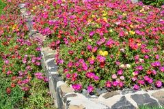 Kolorowy flowerbed hogweed lub Portulaca Obrazy Royalty Free