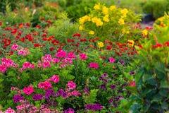 Kolorowy flowerbed w ogródzie Zdjęcia Royalty Free