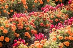 Kolorowy flowerbed w ogródzie w wiośnie Fotografia Stock