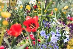 Kolorowy flowerbed z dużo wiosna kwiaty Fotografia Stock