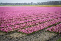 Kolorowy flowerbed z tulipanów daffodils i hiacyntami Zdjęcie Royalty Free