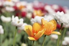 Kolorowy flowerbed z tulipanami Zdjęcia Royalty Free