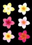 kolorowy frangipani ilustracji