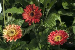 Kolorowy gerbera kwitnie w ogródzie obraz stock