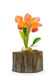 Kolorowy gliniany storczykowy kwiat Obrazy Royalty Free