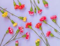 Kolorowy goździk kwitnie na bławym tle Mieszkanie nieatutowy, odg?rny widok zdjęcia royalty free