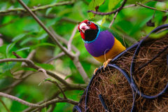Kolorowy Gouldian Finch Zdjęcia Royalty Free