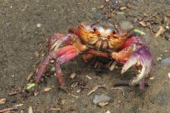 Kolorowy gruntowego kraba Gecarcinus quadratus, także znać jako Halloween krab, czołgać się wzdłuż plaży w Costa Rica zdjęcie royalty free
