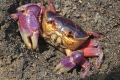 Kolorowy gruntowego kraba Gecarcinus quadratus, także znać jako Halloween krab, robi swój sposobowi wzdłuż Paloma w Costa Rica Wy zdjęcie royalty free