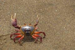 Kolorowy gruntowego kraba Gecarcinus quadratus, także znać jako Halloween krab, robi swój sposobowi wzdłuż Paloma w Costa Rica Wy zdjęcie stock