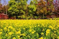 Kolorowy gwałta kwiatu pole Zdjęcia Stock