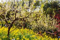 Kolorowy gwałta kwiatu pole Fotografia Stock