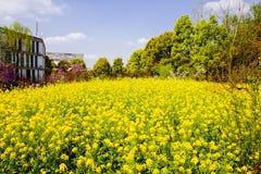 Kolorowy gwałta kwiatu pole Obraz Stock