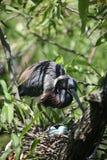 kolorowy heron tri wiciem gniazda obrazy stock