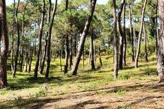 Kolorowy i obfitolistny sosnowy las w g?rze obraz royalty free