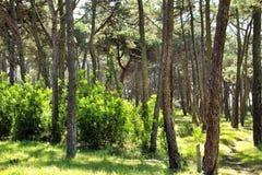 Kolorowy i obfitolistny sosnowy las w g?rze zdjęcia stock