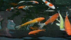 Kolorowy Japoński karp ryba zwierzę domowe pływa w ciemnym wodnym basenie w 1920x1080 HD ilości (koja) zdjęcie wideo