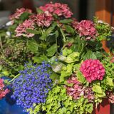 Kolorowy jaskrawy i żywy kwitnący lato lub wiosna kwitniemy na flowerbeds miasto Piękny sezonowy kwiecisty obraz royalty free