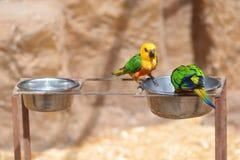 Kolorowy jenday conure obsiadanie na gałąź obrazy royalty free