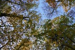 Kolorowy jesieni drzewo w kierunku nieba przegląda Zdjęcia Stock
