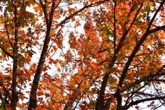 Kolorowy jesieni drzewo z pomarańczowymi liśćmi Zdjęcia Royalty Free