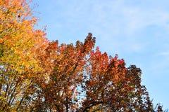 Kolorowy jesieni drzewo z złotymi liśćmi Obraz Stock