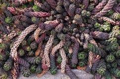 Kolorowy kaktus, unikalny kształt zdjęcia royalty free